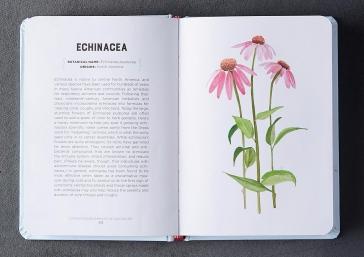 Echinacea watercolor
