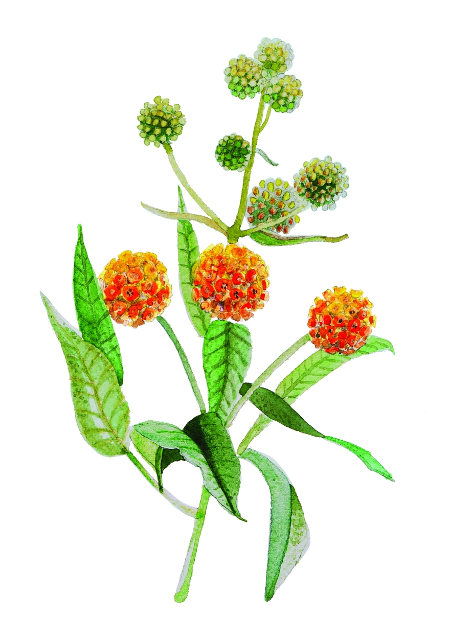 watercolor painting of a sprig of a plant with orange flowers that look like pom poms