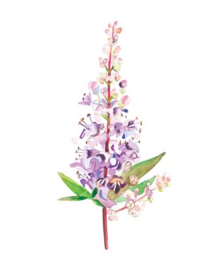 Nature's Remedies Book: Vitex agnus castus watercolor